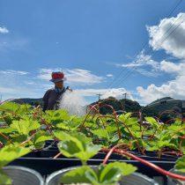 イチゴの育苗管理